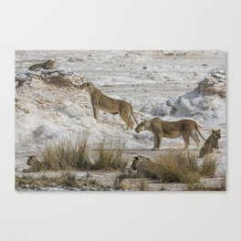 Alert Lions - Something's Coming to the Waterhole, No. 1 Canvas Print
