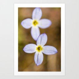 Spring Bluets Art Print