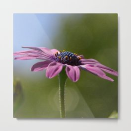 Macro Shot Of A Purple Osteospermum Metal Print