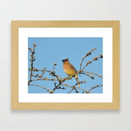 Cedar Waxwing Faces Sunset Framed Art Print