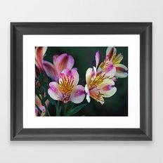Alstroemeria Framed Art Print