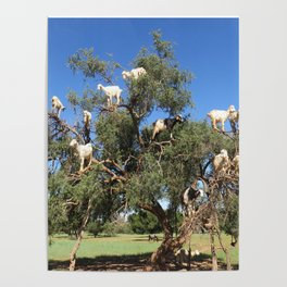 Goats in a tree Poster