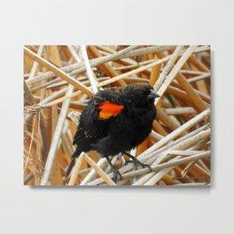 Juvenile Male Redwing Blackbird Metal Print