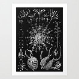 Ernst Haeckel - Phaeodaria Art Print