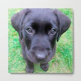Black Labrador Dog on Grass Metal Print