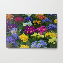 Colorful primrose beauties Metal Print