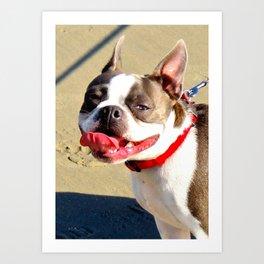Portrait of a Boston Terrier Art Print