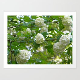 Hydrangea in Spring Art Print