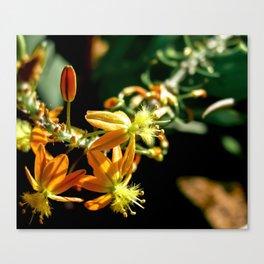 Bulbine flower Canvas Print