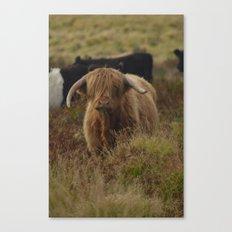 Highland Cow Exmoor Canvas Print