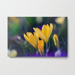 Yellow Crocuses in Spring Metal Print