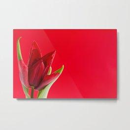 Blooming one single red tulip Metal Print