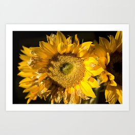 sunkissed sunflower Art Print