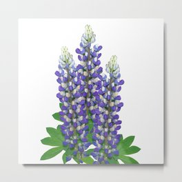 Blue and white lupine flowers Metal Print