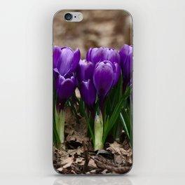 Purple Spring - crocuses herald the start of Spring iPhone Skin