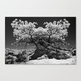 Conjoined Torrey Pines in Infrared Canvas Print