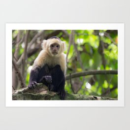 White-faced Capuchin Monkey Art Print