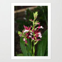 Nun's Orchid Art Print