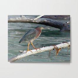 Green Heron Greers Island Longboat Key, FL Metal Print