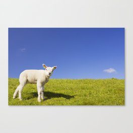 Texel lamb on the island of Texel, The Netherlands Canvas Print