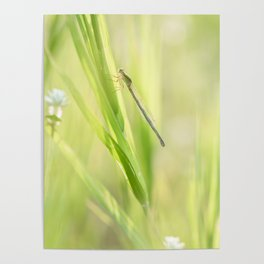 Damselfly perching on green grass in sunny morning Poster