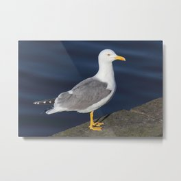 Yellow Legged Gull Metal Print