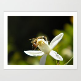 Bee and blossom Art Print