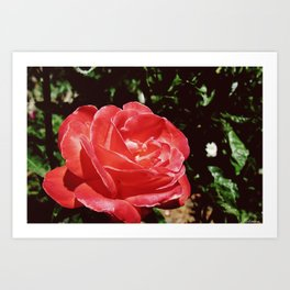 Take time to stop and smell the roses Art Print
