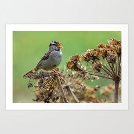 Singing Sparrow Art Print
