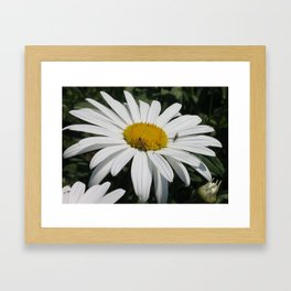 Close Up Common Daisy with Winged Insects Framed Art Print