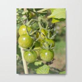 Cherry tomatoes green on the vine Metal Print