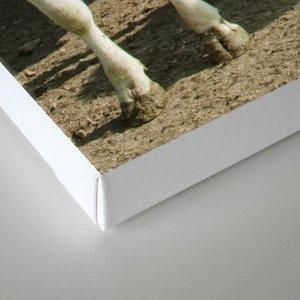 Cow panoramic Canvas Print