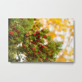 Yew red fruits bunch grow Metal Print