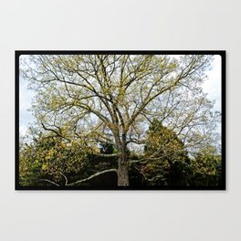 Great Oak at Winged Deer Park Canvas Print