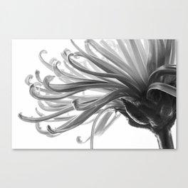 Spider Mum Black and White 2 Canvas Print