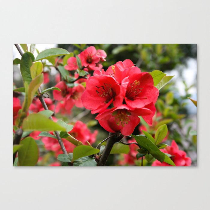 JAPANESE QUINCE Canvas Print