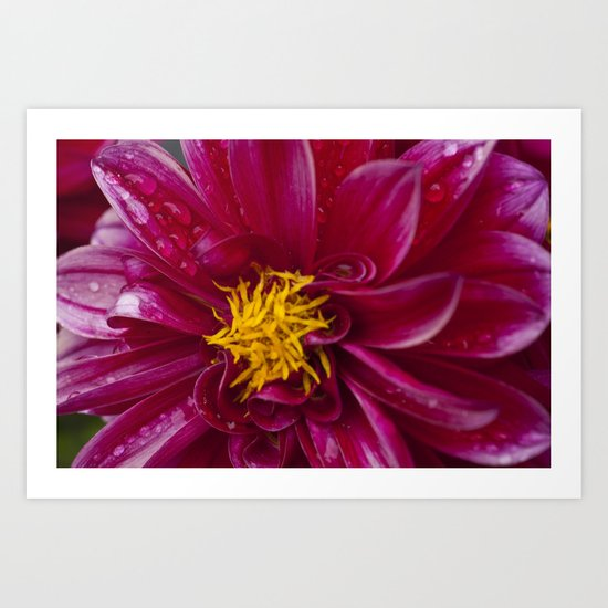 Pink Dahlietta Flower 3 Art Print
