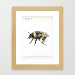 White-tailed bumblebee, poster #3 Framed Art Print