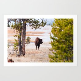 Yellowstone Buffalo Art Print