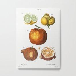 Citrus in various shapes and sizes, Citrus from Traité des Arbres et Arbustes que l'on cultive en Fr Metal Print