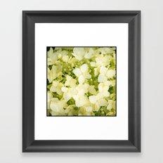 The flowers of white hydrangeas. Framed Art Print