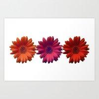 Three Gerberas Art Print