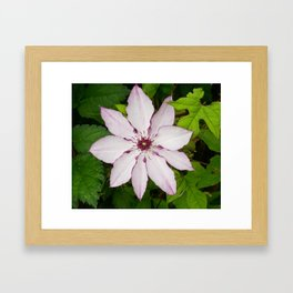 Pale Pink Clematis Framed Art Print