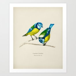 Eurasian blue tit (Cyanistes Caeruleus) illustrated by Charles Dessalines D' Orbigny (1806-1876) Art Print