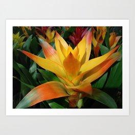 Orange guzmania tropical flower Art Print