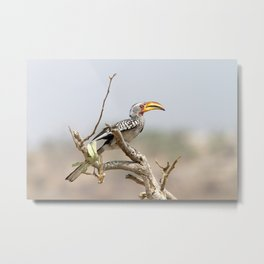 Yellow billed hornbill Metal Print