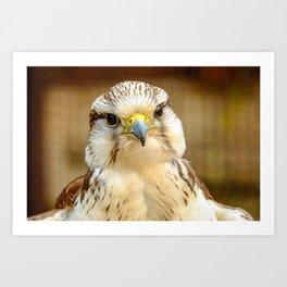 Gyrfalcon Falcon Closeup Art Print