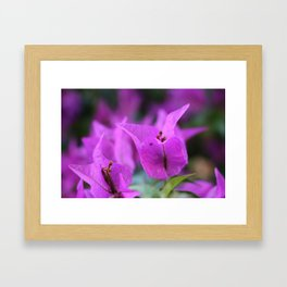 Purple Bougainville Framed Art Print