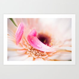 White flower with pink petals Art Print