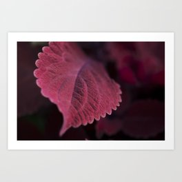 Coleus Pink Art Print